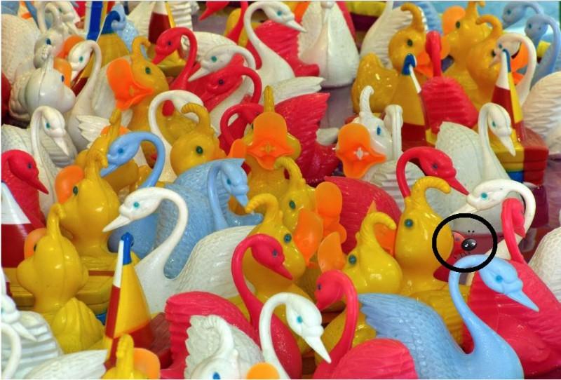 swans fg ans
